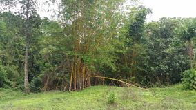 Arbre en bambou Photos libres de droits