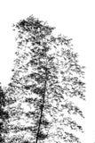 Arbre en bambou balançant dans la brise Photographie stock libre de droits