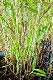 Arbre en bambou dans le flowerpot noir Image libre de droits