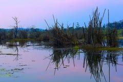 Arbre en bambou mort dans le lac Photographie stock libre de droits
