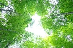 Arbre en bambou vert Images libres de droits