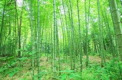 Arbre en bambou vert Images stock