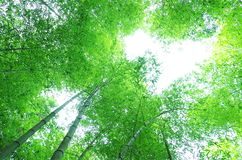 Arbre en bambou vert Photographie stock