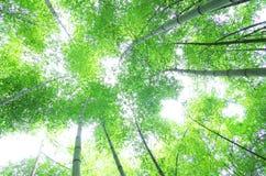 Arbre en bambou vert Photos libres de droits