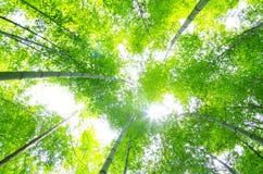 Arbre en bambou vert Image stock