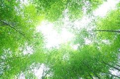 Arbre en bambou vert Photo stock
