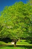 Arbre en bois jaune au printemps image stock