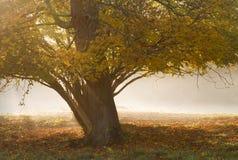 Arbre en brouillard. images libres de droits
