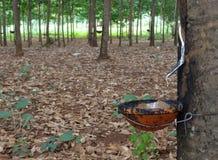 arbre en caoutchouc de plantation Images libres de droits