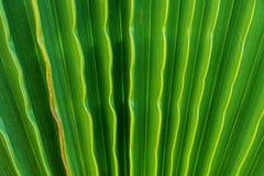 Arbre en feuille de palmier en accordéon ondulé en tant que fond naturel de modèle Couleur verte vibrante Style à la mode Vacance Image libre de droits