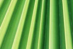 Arbre en feuille de palmier plissé hérissé avec la texture ondulée avec le modèle géométrique rayé naturel La verdure en pastel m Images stock