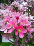 Arbre en fleur Photo libre de droits