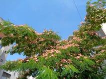 Arbre en soie - julibrissin d'Albizia Photos stock