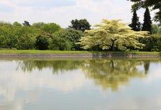 Arbre en soie persan de floraison Albizia Julibrissin dans le jardin japonais sur le lac photo libre de droits
