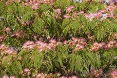 Arbre en soie persan en fleur photos stock