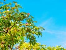 Arbre en soie persan fleurissant avec le ciel bleu sur le fond photographie stock libre de droits