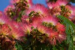 Arbre en soie rose Photo libre de droits