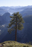 Arbre en stationnement national de Yosemite images libres de droits