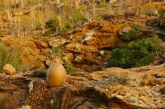 Arbre endémique de petites bouteilles avec de petites feuilles yemen Île de Socotra Photos libres de droits