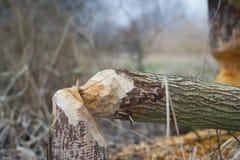 Arbre endommagé par les castors ; rongé par les castors ; secteur endommagé Images stock