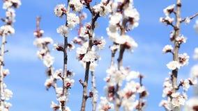Arbre et abeilles de floraison rassemblant le nectar clips vidéos