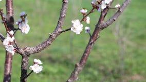 Arbre et abeilles de floraison rassemblant le nectar banque de vidéos