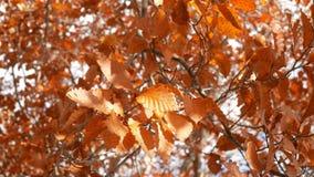 Arbre et feuilles d'automne balançant dans le vent clips vidéos