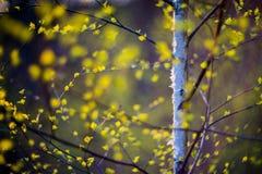Arbre et feuilles de bouleau photo libre de droits