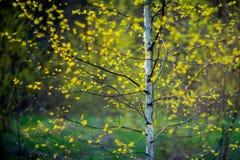 Arbre et feuilles de bouleau image libre de droits