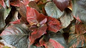 Arbre et feuilles de Perilla banque de vidéos