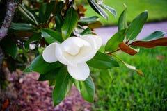 Arbre et fleur de denudata de magnolia Photos libres de droits