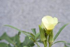 Arbre et fleurs de gombo Photos stock