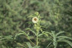 Arbre et fleurs de gombo Image stock