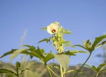 Arbre et fleurs de gombo Photographie stock