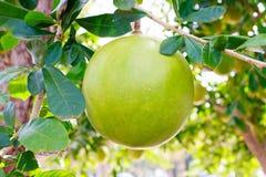 Arbre et fruit de calebasse images stock