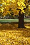 Arbre et lames d'érable jaunes   Image stock