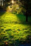 Arbre et lumière d'or magique sur l'herbe Photographie stock libre de droits