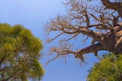 Arbre et savane de baobab Images stock