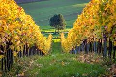 Arbre et vignoble en automne, Autriche photographie stock libre de droits