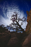 Arbre excessif en stationnement national d'arbre de Joshua Image libre de droits