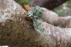 Arbre fictif de gombo en Floride tropicale avec l'écorce et le Lichen Details photos stock