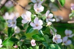 Arbre fleuri - coing Photo libre de droits