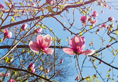 Arbre fleuri de magnolia dans le printemps Photos stock