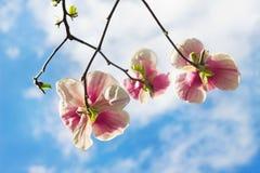 Arbre fleuri de magnolia dans le printemps Images libres de droits