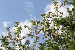 Arbre fleurissant étonnant avec le fond du ciel Image stock