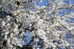 Arbre fleurissant Photo libre de droits