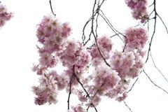 Arbre fleurissant Image stock