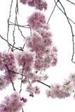 Arbre fleurissant Photographie stock libre de droits