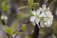Arbre fleurissant Photo stock