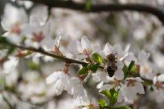 Arbre fleurissant Photographie stock